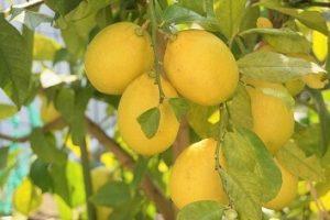 黄色いたくさんのレモン-ザプレイズ日記