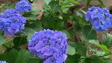 紫色の美しいあじさい『正直がいい!本音が嬉しい!』-ザプレイズ日記