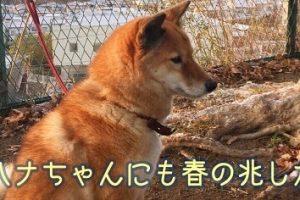 愛犬柴犬花ちゃん-ザプレイズ日記